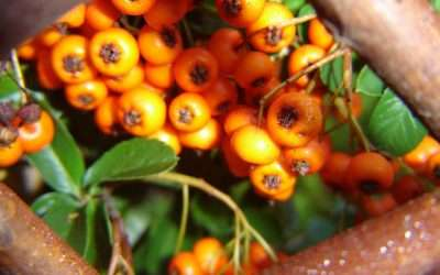 How To Train Pyracantha