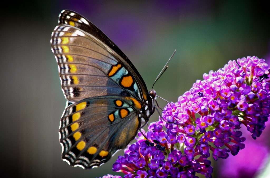 Buddleia Bushes, The Butterfly Magnet