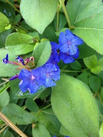 Late Summer Leadwort