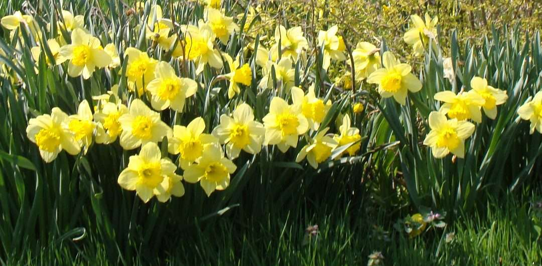 Stretch The Bloom Season With Daffodils