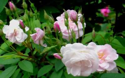 Heirloom Roses for Your Ohio Garden