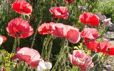 Plant Shirley Poppies For Early Summer Color