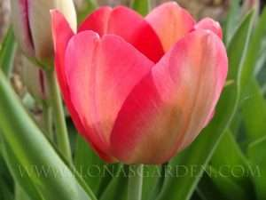 Tulipa 'Renown' has returned well for several years.