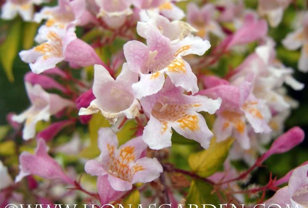 Spring blooming bushes are first rate yard accents mightylinksfo