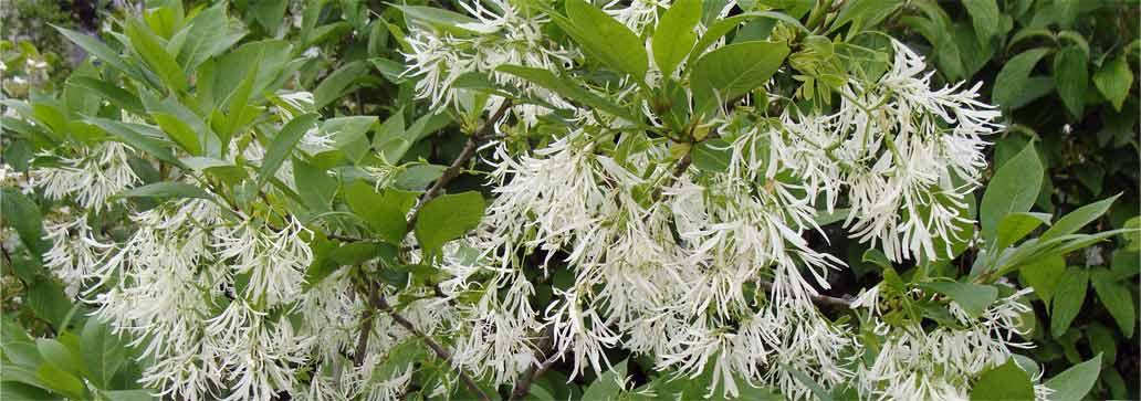 Fringe Trees, Fragrant and Fluttery