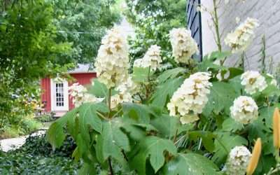 Is It Time To Prune Your Hydrangeas?