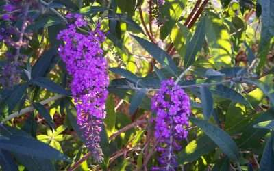 The Butterfly Bush In My Garden