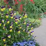 Perennial Border Johnny Jump-ups (purple/yellow) Turkish Veronica (blue) Coral Bells (red) Photo by Patrick Standish