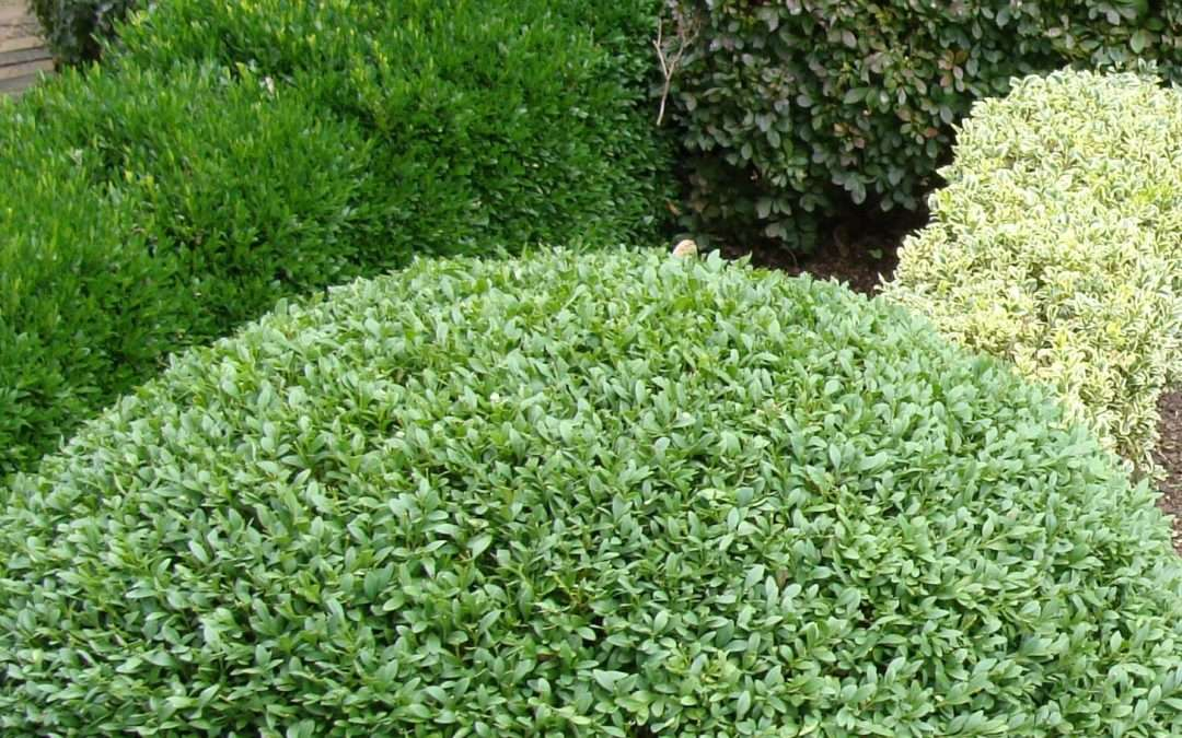 5 Outstanding Shrubs for Small Spaces