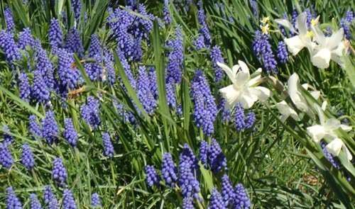 Muscari, naturalized with Thalia daffodils