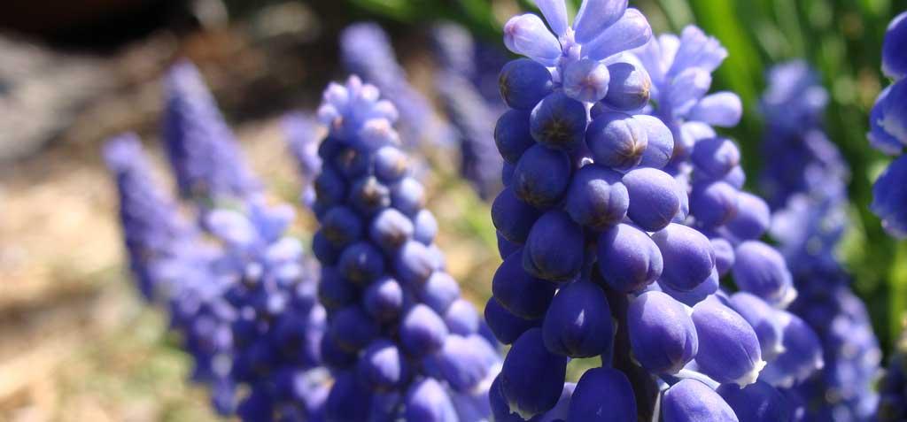 Small Spring Bulbs: Grape Hyacinth Brings Blue During Daffodil Time