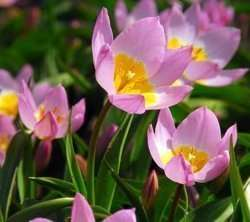 specie tulip photo