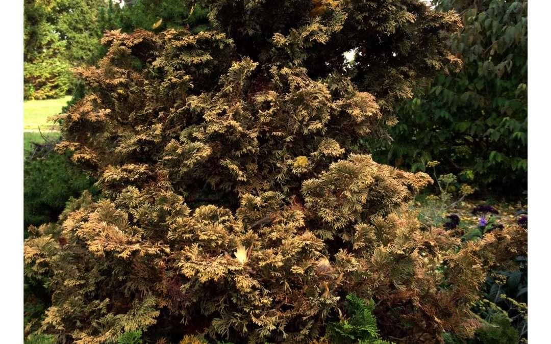 Hinoki Cypress Troubles