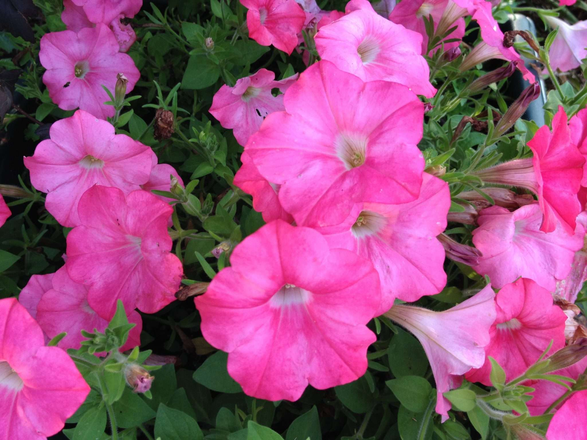 An All Pink All Season Flower Garden Plan
