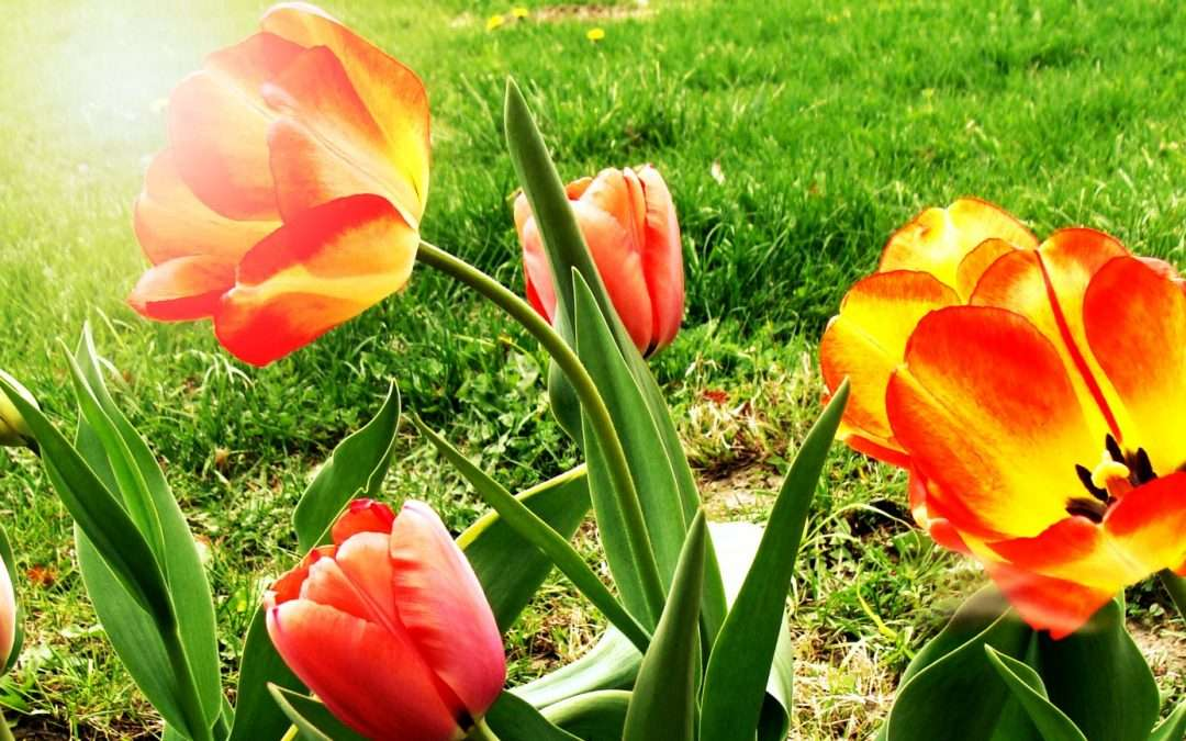 Spring Regrets About Planting Tulips