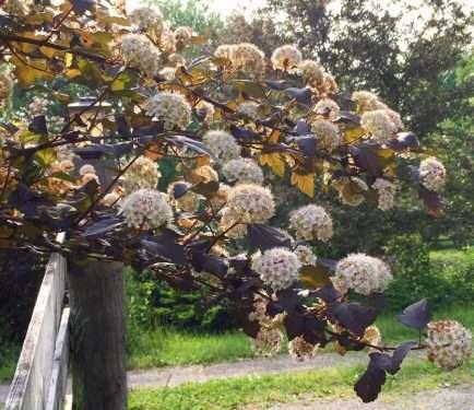 purple leaved shrub branch