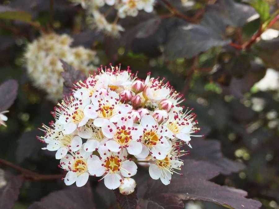 Dwarf tiny wine physocarpus ninebark beauty in smaller proportions mightylinksfo