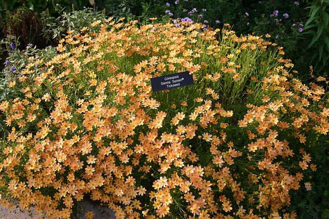New Breeds Of Coreopsis