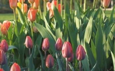 Remind Me How To Grow Tulips
