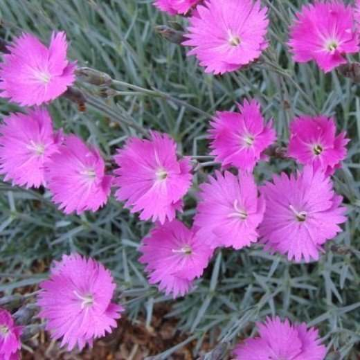 An all pink all season flower garden plan dianthus plumarius are called pinks the color may be named after this flower while the word pink is believed to come from the frilled edges mightylinksfo Choice Image