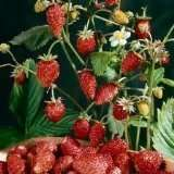 Strawberry Alpine Mignonette Great Heirloom Vegetable 40 Seeds