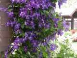 Clematis Jackmanii: Well Established: Container Size: #1