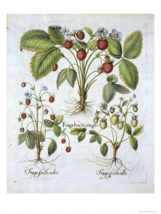 3 kinds of alpine strawberries