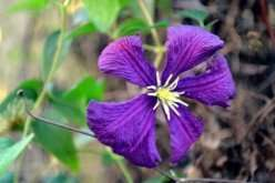 single purple clematis