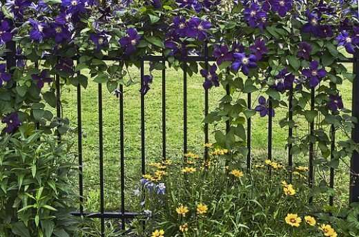 iron fence supporting a clematis vine