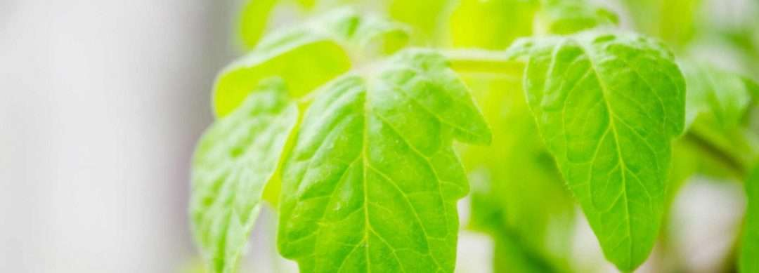 How To Properly Care For Tomato Plants