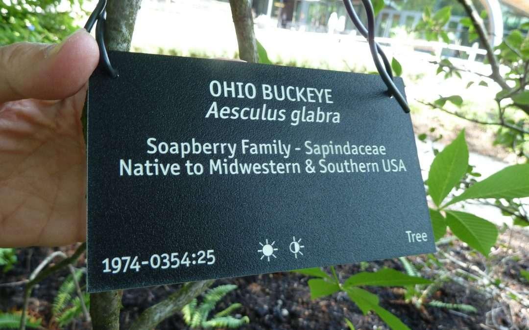 Ohio Buckeye, Aesculus glabra