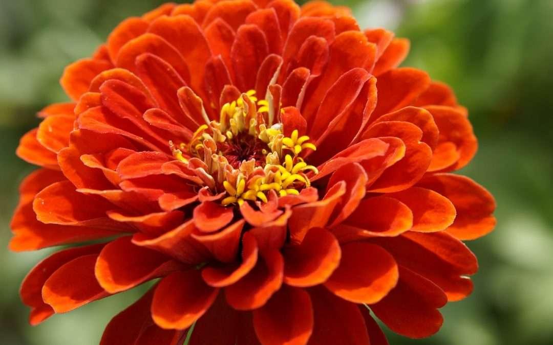 Annuals For Your Garden: Festive Zinnias