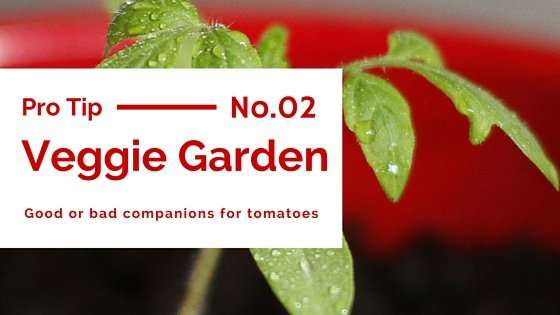 Tomato Companion Plants For Your Organic Garden Patch