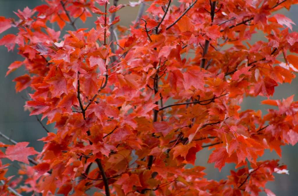 Colorful Red Maple, Acer Rubrum, Grows Fast