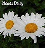 large white daisy