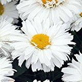 shasta daisy variety