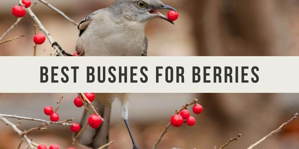 Growing the Best Ornamental Bushes with Berries