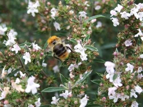 Savory flowers attract pollinators.