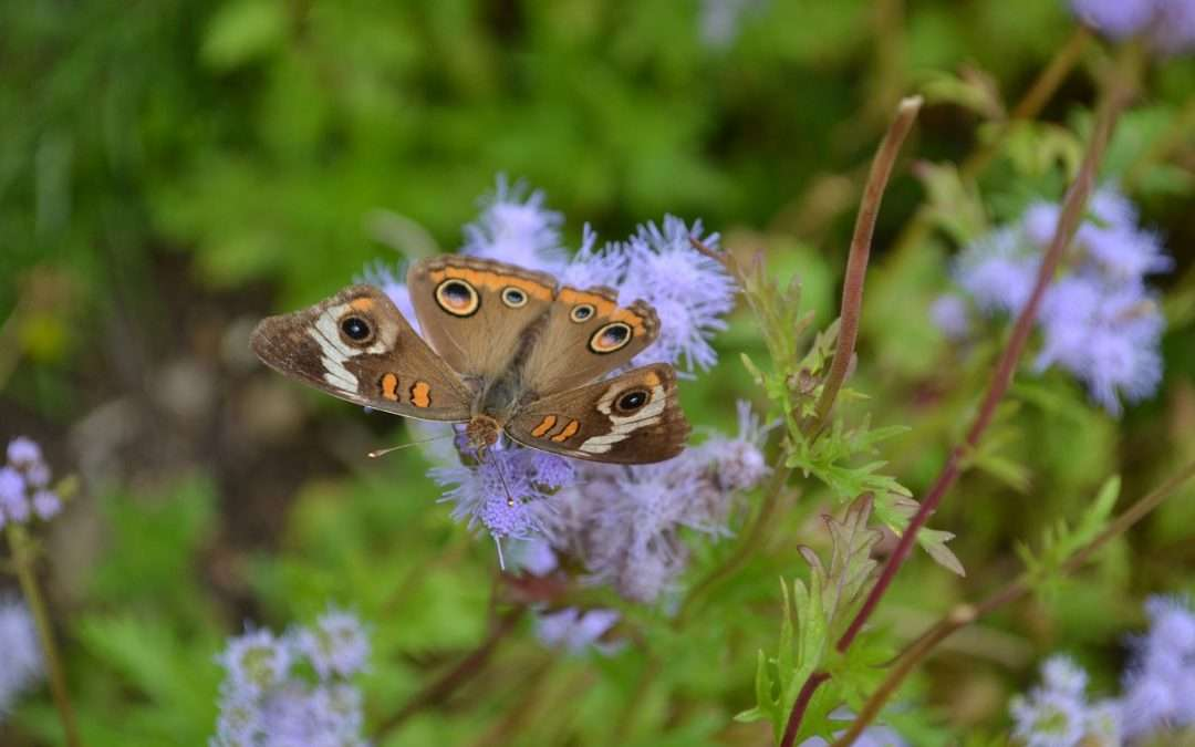 Blue Mistflower, Eupatorium Coelestinum for Late Summer and Early Fall Bloom