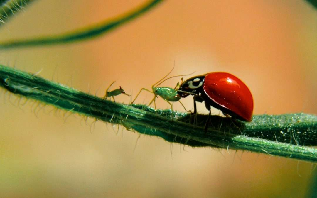 Attract The Good Bugs To Your Garden