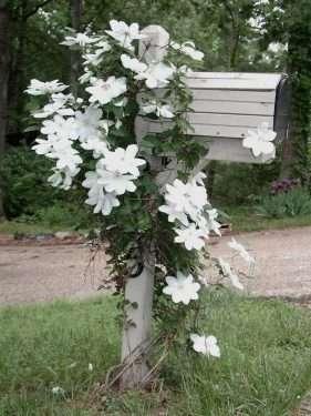 white clematis on mailbox
