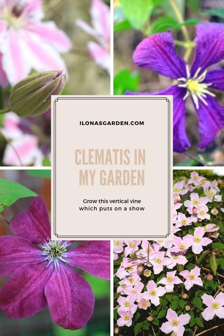 Varieties of clematis for your garden