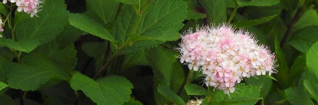 Spring Flowering Spireas