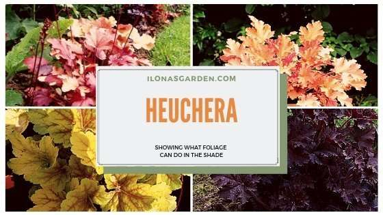 Heuchera, Native Perennial for Shade