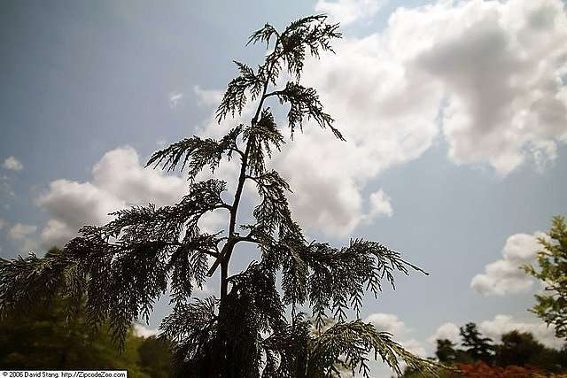 Weeping Cedar and Other Interesting Conifers