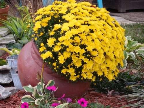 FALL Chrysanthemum Container