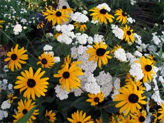 black eyed Susans with Achillea