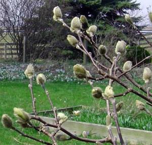 the silver buds of magnolia stellata