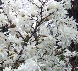 magnolia stellata bloom