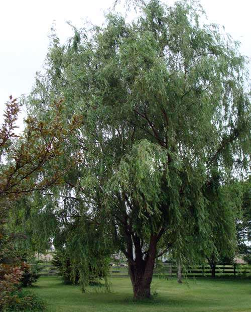 Types of weeping trees